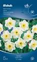 515646_narcissus_papillon_blanc.tif