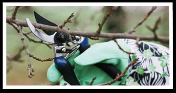 Weibulls - Beskära äppelträd