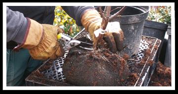 Weibulls - Plantera träd