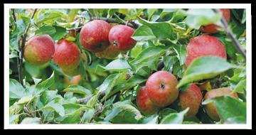 Weibulls - Äppelträd