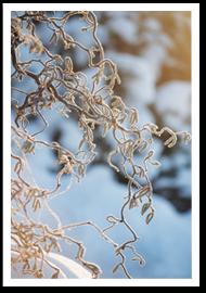 Weibulls - Trollhassel vinter