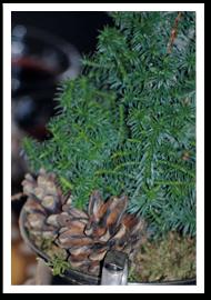 Weibulls -Julblommor, Cypress