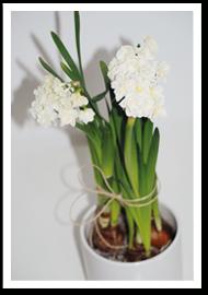 Weibulls - Tazetter, julens blomma
