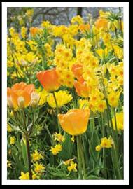 Weibulls - tulpaner och påskliljor