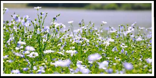 Weibulls blomsteräng - Blomsterlin