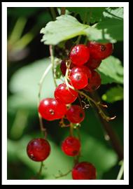 Weibulls - Röda vinbär
