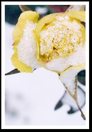 Weibulls - Vinterväxter Ros