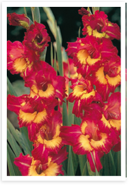 Weibulls - Gladiolus, Far West