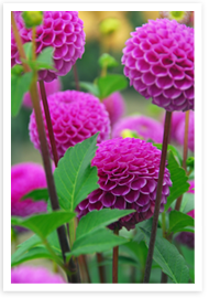 Weibulls blomsterlök - Dahlia
