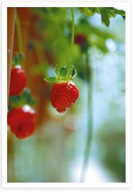 Weibulls - jordgubbar