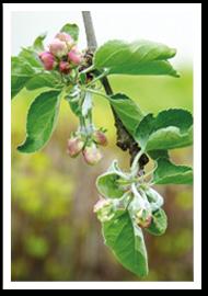 Weibulls - Äppleträd