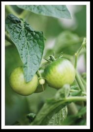 Weibulls - Odla tomater