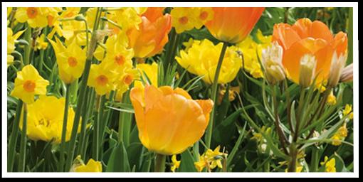 Weibulls - Plantera höstlök, gula narcisser och tulpaner