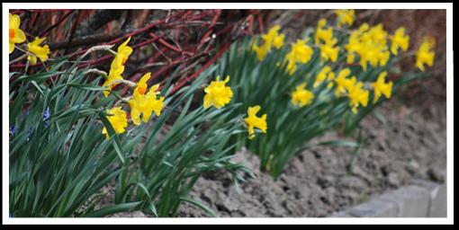 Weibulls - Plantera höstlök, Narcisser