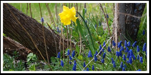 Weibulls - Plantera höstlök, Pärlhyacint