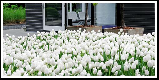Weibulls - Plantera höstlök, vita tulpaner