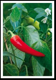 Weibulls - Odla chili