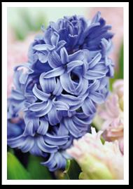 Weibulls - Plantera blomsterlök, Hyacint