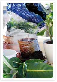 Weibulls - Omplantering krukväxter
