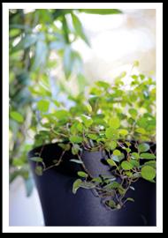 Weibulls - krukväxter
