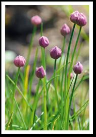 Weibulls - Odla gräslök