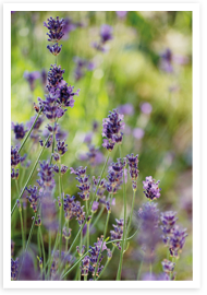 Weibulls - Lavendel