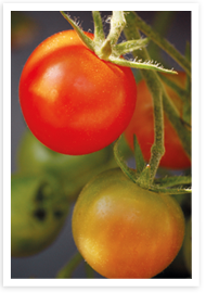 Weibulls - Gödsling, tomater