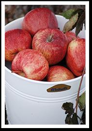 Weibulls - Skörda äpplen. Recept äppelkaka.