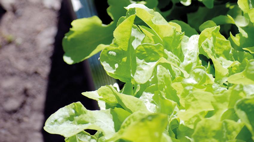 Smaklöken: Bladgrönsaker