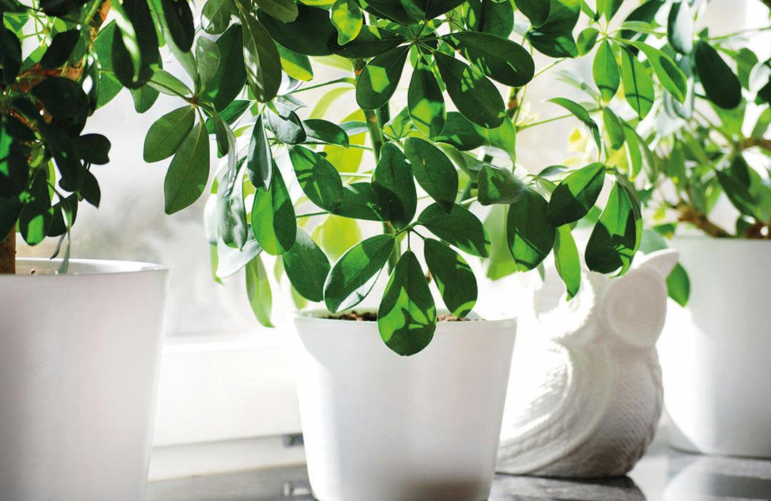 Vintervård för krukväxter